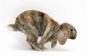 Tortoiseshell Dwarf Lop Rabbit Photograph by Jane Burton