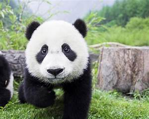 Pin Panda Bear Cubs Wallpaper on Pinterest