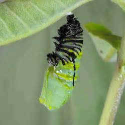Caterpillar Chrysalis Butterfly