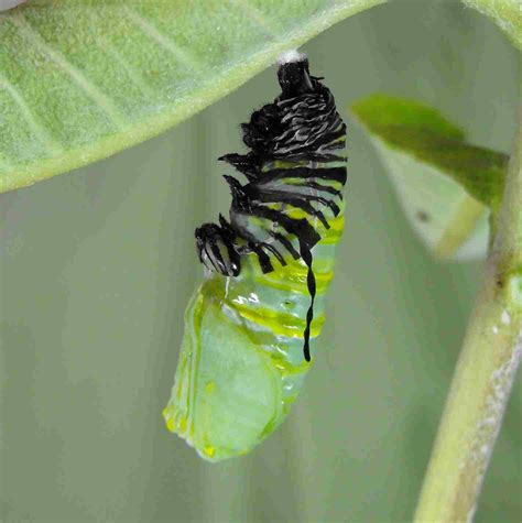 Chrysalis formation to butterfly emergence via indepth ...