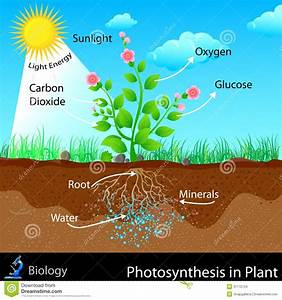Photosynthesis In Plant Stock Vector  Illustration Of