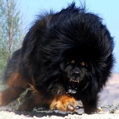 Is It A Dog Or A Bear About The M Ive Tibetan Mastiff Infobarrel