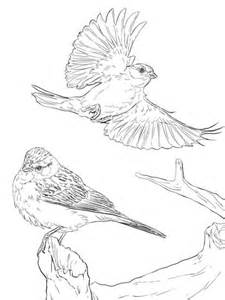 chipping sparrows coloring page supercoloringcom