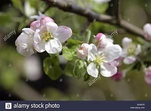 Rosa Blüten Baum : apfelbaum zweig detail blueten weiss rosa baum rosengewaechs stock photo royalty free ~ Yasmunasinghe.com Haus und Dekorationen
