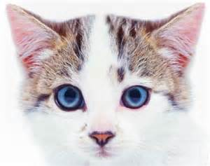 cats ears how to tell if your cat is sick howstuffworks