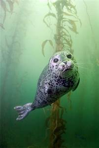 Seal in kelp forest | Marine Animals & Fish | Pinterest
