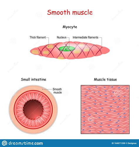 This is different from cardiac muscle tissue, which develops into an as you look at this diagram of a smooth muscle fiber, you'll notice the single nucleus in the center. Structure Of Smooth Muscle Fibers. Anatomy Of Myocyte Stock Vector - Illustration of anatomy ...