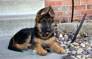 german shepherd puppy for sale price where to buy a gsd With where to buy german shepherd dog