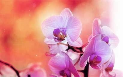 Orchid Wallpapers Info