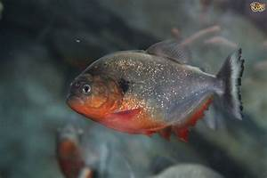 Keeping piranha | Pets4Homes