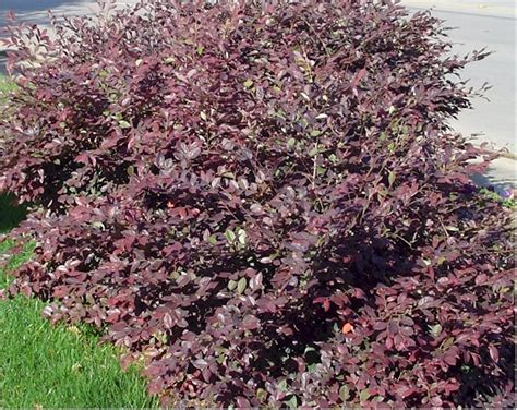 green shrub with pink flowers loropetalum purple dwarf shrub green to burgundy leaves pink flowers in spring grows 4 6