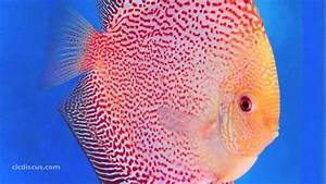 Discus Fish Gallery - YouTube
