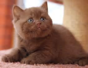 shorthair cinnamon cat quot kotoffski quot shorthair cattery litter