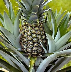 Plant D Ananas : white jade pineapple plant ananas great indoors out 4 pot ~ Melissatoandfro.com Idées de Décoration