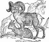 Sheep Bighorn Goat Clip Mountain Desert Clipart Ram Horn Cartoon Clark Lewis Drawing Animal Clker Svg Drawings Coloring Sketch Horns sketch template