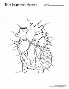Human Heart Diagram - Unlabeled