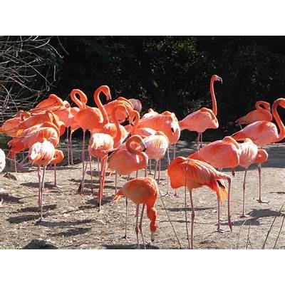File:Phoenicopterus ruber Vogelpark Walsrode (1).JPG