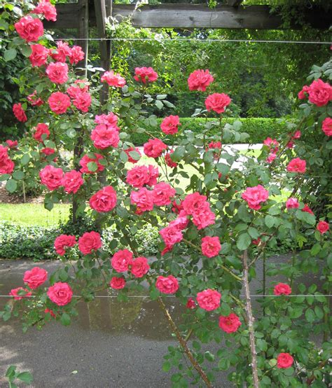 Colourful Climbing Roses  Garden Project Pinterest