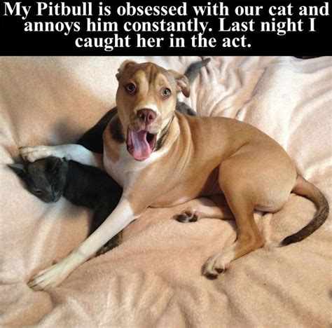 pitbull  obsessed  cat  constantly annoys