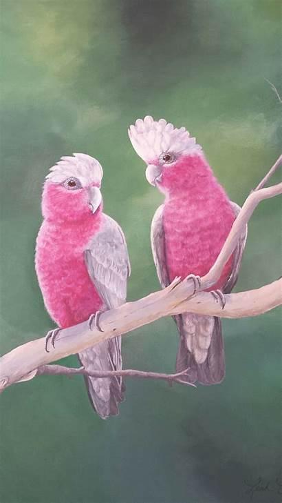Grey Australian Galah Galahs Animals Parrots Cockatoo