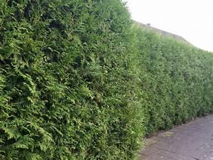 Lebensbaum Hecke Schneiden : heckenpflanzen kaufen thuja brabant lebensbaum brabant ~ Eleganceandgraceweddings.com Haus und Dekorationen