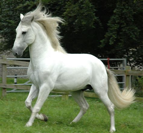 andalusian horse horses most weneedfun spanish hd grey pre pure known wallpapers amazing