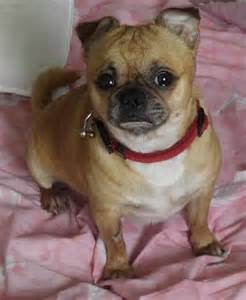Pug Chihuahua Mix