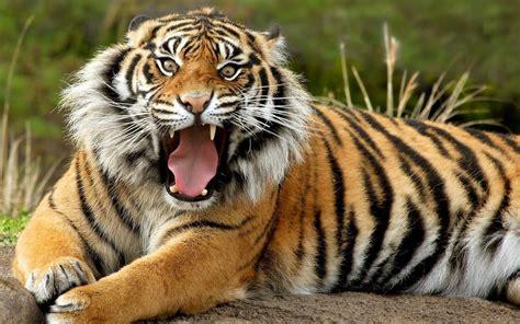 fantastis  wallpaper wajah harimau rona wallpaper