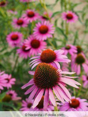 Blumen Für Balkon Winterhart by Sch 246 Ne Blumenstauden Einj 228 Hrige Und Winterharte