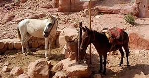 Petra En Jordanie Les Animaux Qui Transportent Les