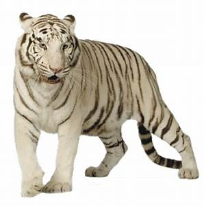 White Tiger PNG Transparent Images | PNG All