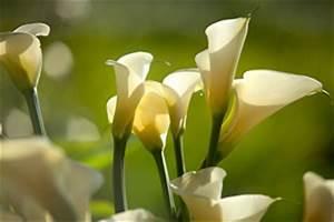 Zimmerpflanze Weiße Blüten : calla zimmercalla zantedeschia aethiopica pflege anleitung ~ Markanthonyermac.com Haus und Dekorationen