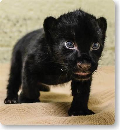 Jaguar Cub Wildlife Endangered Birth Melanistic Gives