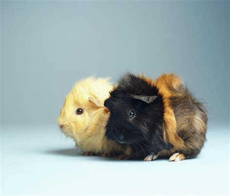 Long Kitchen Design Ideas - how to care for pet guinea pigs