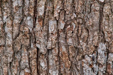 bark of tree photo 1228 26 bark of a tree on racoon run trail in lick creek park college station texas