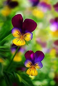 Pansies | Flowers | Pinterest