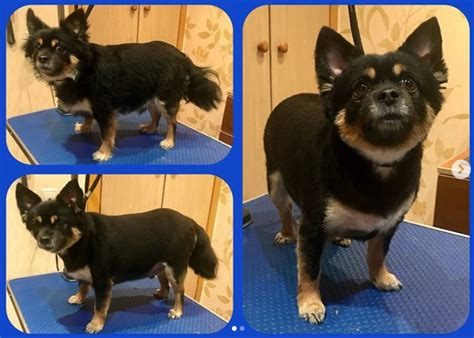 10 best long haired chihuahua haircuts page 2 the paws