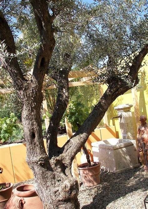 Olivenbaum Im Haus by Olivenbaum Im Garten 252 Berwintern M 246 Glich