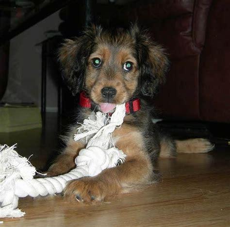 list  shetland sheepdog mix breed dogs