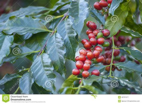 Coffee Bean With Coffee Tree Stock Image Sumatra Coffee House History Eksi Scooter's Rapid City Sd Cuisinart Self Clean Maker Instructions Recipe Owner Lemon Juice