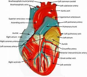 Denoyer Geppert heart - HUMAN ANATOMY WEB SITE