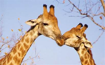 Giraffe Animal Background Wallpapers Pairs Kiss