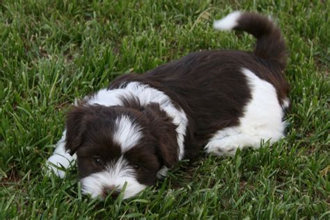 cute havanese dog photo and wallpaper beautiful cute