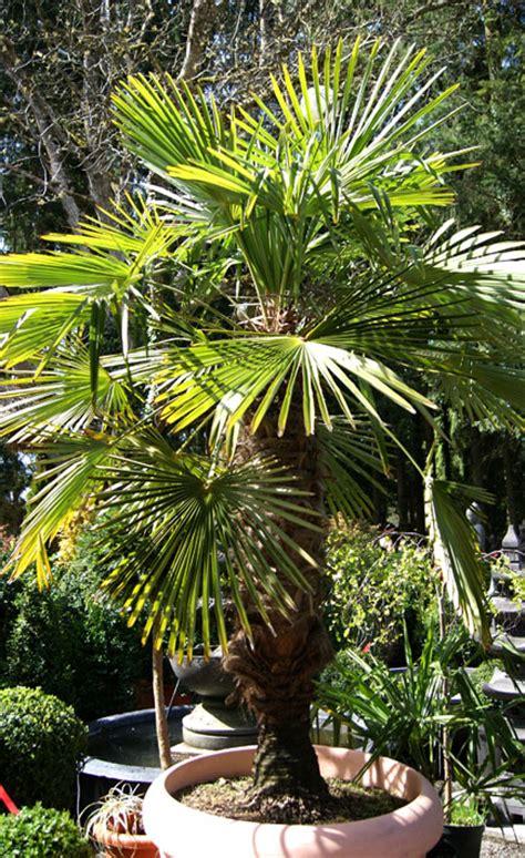 Palmen & Bananen  Garten Pflanzen  Bambus Und Pflanzenshop