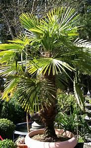 Palmen Für Den Garten : palmen pflanzen mediterranen pflanzen im garten bambus und pflanzenshop ~ Sanjose-hotels-ca.com Haus und Dekorationen