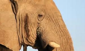 Elephant poachers may be causing newborns to be born ...