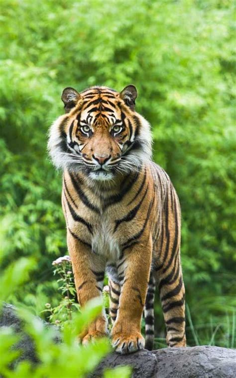 Tiger Photo by Asian Or Bengal Tiger Facts Tiger Tiger Pictures