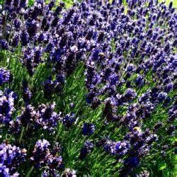 Lavendel Wann Schneiden : lavendel schneiden haushaltstipps und gartentipps ~ One.caynefoto.club Haus und Dekorationen