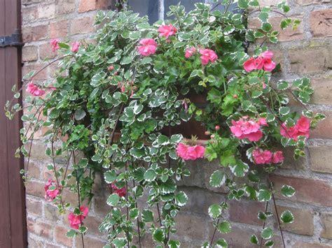 Geranien überwintern Im Blumenkasten by Geranien 252 Berwintern Mein Garten Ratgeber