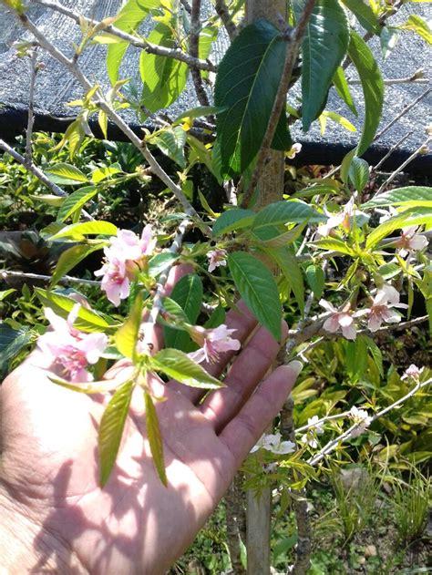 jual bibit tanaman bunga sakuracherry blossoms  lapak
